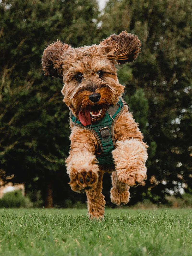 Dog With Harness Jumping